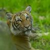"""فيروس كورونا: إصابة أنثى نمر في حديقة حيوانات """"برونكس"""" في نيويورك"""