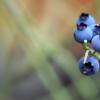 التوت الأزرق زراعة واعدة في جنوب إفريقيا