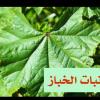 """ܐܪܣܚܚܐ : أرسخاخا (ܐܲܪܣܚܵܚܵܐ)هي تسمية بالسورث لنبات يشبه الخبيزة """""""