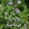 الميرمية أحد أعشاب المعروفة منذ القدم باستخداماتها العلاجية وبرائحتها العطرية